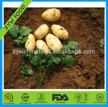 Fresh holland potato / Chinese potato enjoying high reputation allover the world