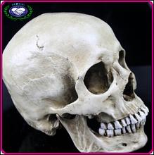 Wholesale Christams Halloween Decorative and Medical Supplies Human Skull Model Bone Color Resin Halloween Skull