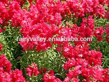 Summer Snapdragons Flower Seeds for Planting