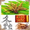 whole cordyceps sinensis/cordyceps yarsagumba cordyceps sinensis/cordyceps sinensis hyphae powder