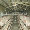 solide en acier treillis métallique de poulet cage poule batterie pour la vente