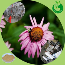 Anti-infection chicoric acid echinacea purpurea extract