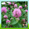 Natural Red Clover Extract , Trifolium pratense Extract For Antibiotic 8%