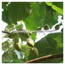 chinese paulownia seed hybrid shan tong