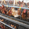 A type automatic chicken cages/animal cages for poultry farm