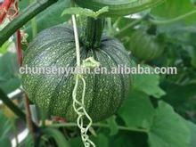 2014 high quality japanese pumpkin seeds