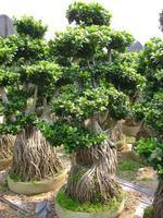 Ficus Microcarpa plants farms