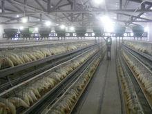 FRD-most popular chicken breeding layer cage
