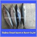 عالية الجودة الطازجة الماكريل/ الاسم العلمي من أسماك الماكريل