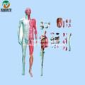 Corpo humano camada dissecção com vísceras modelo BIX-A1028