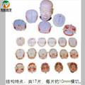 O homem da cabeça e pescoço anatomia de uma transversal falha bix-a1072 modelo