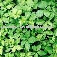 Cinco extrato da folha( pentaphyllum gynostemma extrato: chá gynostemma extrato)