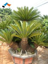 multi heads cycas revoluta bonsai