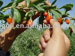 Natural GOJI , goji berries, green, free-pesticides