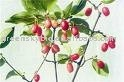 Asiatic comelian cherry fruit extract 5:1,10:1