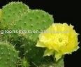 Cactus extrato ( extrato de ervas ) 10: 1, 20:1
