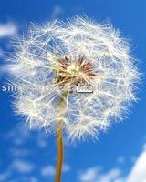 Chinese Golden Dandelion herb medicine for protecting liver
