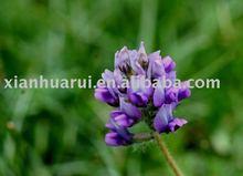 Red Clover P.E./Trifolium pretense L./CAS No: 977150-97-2