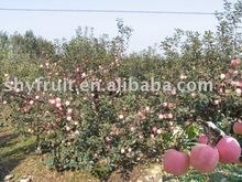 fresh fuji apple of China (hot)!