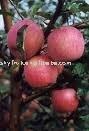Export shaanxi sweet fresh red fuji apple