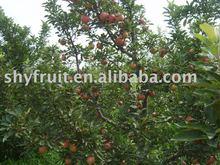 supply high quality fresh apple