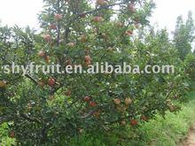 2012 Top grade fresh apple