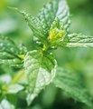 De calidad superior de aceite de menta 50% mentol