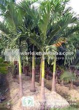 Veitchia merrillii palm trees