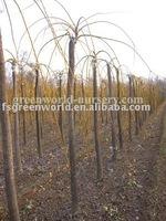 Sophora japonica deciduous trees