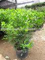 murraya paniculata شجيرة الزهور في الهواء الطلق