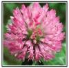 Formononetin(clover speies Trifolium Pratense extract neochanin formononetol)