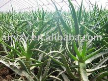 Aloe Vora Extract