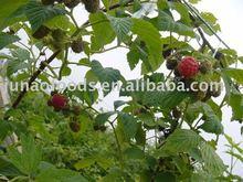 Supply IQF raspberry