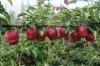hot sell sweet huaniu apple