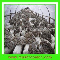 Sheepshead Mushroom