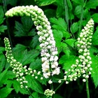 100% Pure Natural Black Cohosh Extract