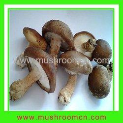 Shiitake seeds