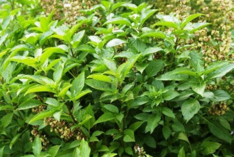 Seeds Marathi Tulas