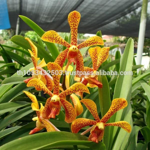 Orchids Wholesale Thailand Fresh Orchids Wholesale