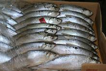 Frozen Milkfish (Chanos chanos) - Longline Bait