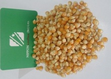 Dried Yellow Maize / Corn (Human Consumption)