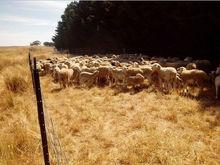 Live Australian Sheeps/Lambs