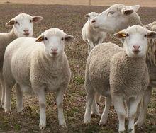 Dorper Sheep AUSTRALIA