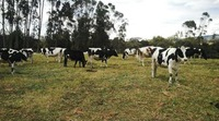 100% Pure Colombian Quality Holstein, Cattle, Bulk, Pregnant , etc Heifers