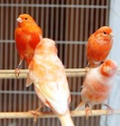 Red Factor Canary With Cages For Sale