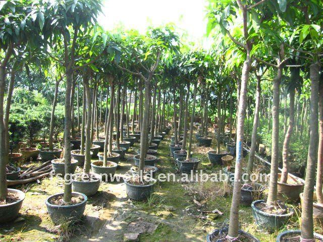 Mangos rboles frutales para el jard n plantas le osas for Arboles frutales para jardin