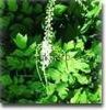 top quality Black cohosh powder extract Triterpenoid saponins