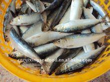 Sardine frozen food