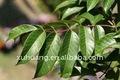 Cuidado de la piel ingredientes de hoja de olivo extractOleuropein5 % - 60%