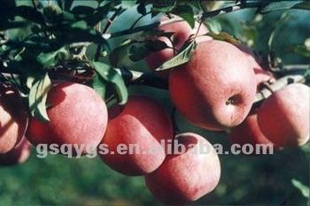 import fruit qinguan apple